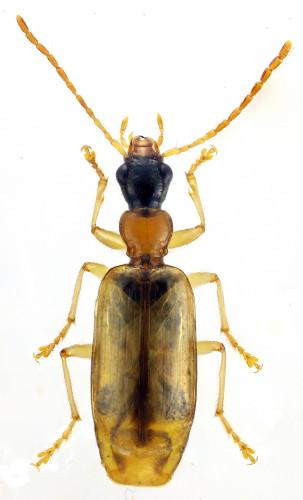 Demetrias atricapillus