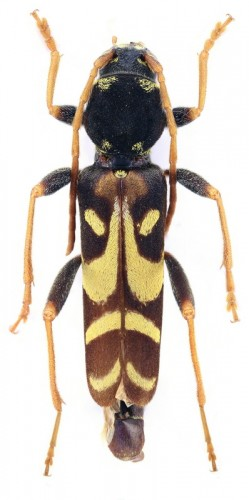 Clytus tropicus