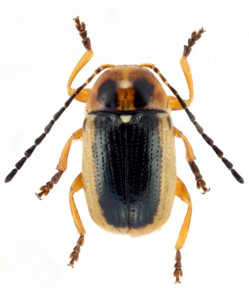 Cryptocephalus sp.