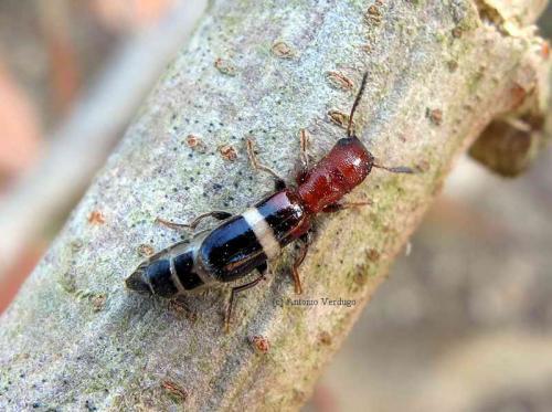 Denops albofasciatus