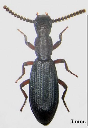 Dichillus subcostatus