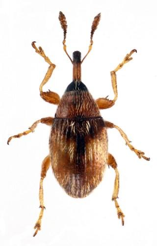 Dieckmanniellus nitidulus