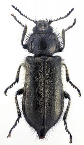 Enicopus ibericus hembra