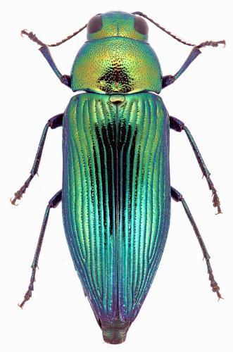 Eurythyrea quercus
