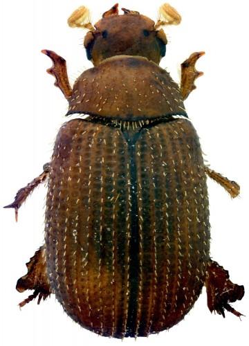 Glaresis thiniensis