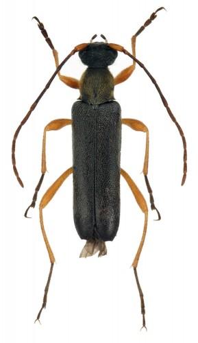Grammoptera ustulata