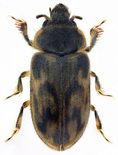 Heterocerus cf.  flexuosus