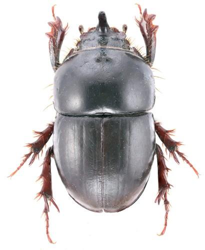 Hybalus ameliae