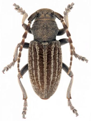 Iberodorcadion (B.)  mucidum lusitanicum