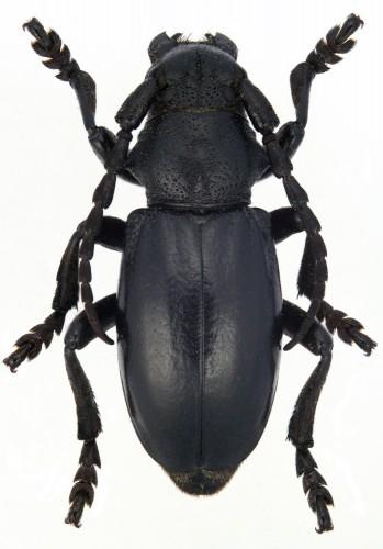 Iberodorcadion (B.) marmottani macho