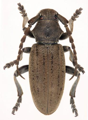 Iberodorcadion (B.) mucidum coelloi
