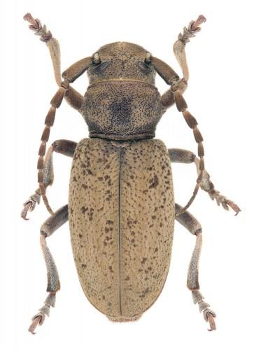 Iberodorcadion (B.) parmeniforme
