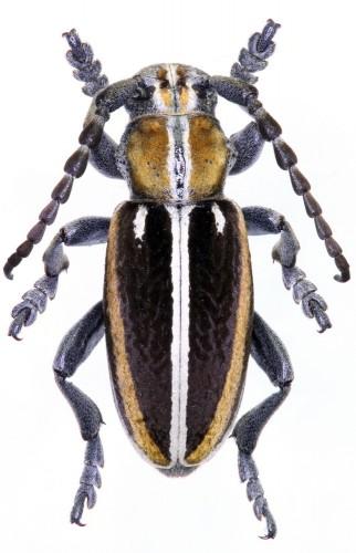 Iberodorcadion (H.) circumcinctum