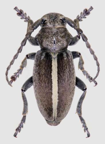 Iberodorcadion (H.) ferdinandi macho