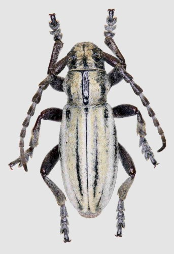Iberodorcadion (H.) marinae
