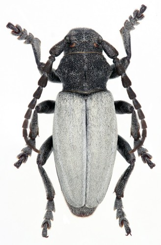 Iberodorcadion (I.) fuliginator tipico