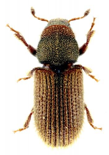 Kissophagus vicinus