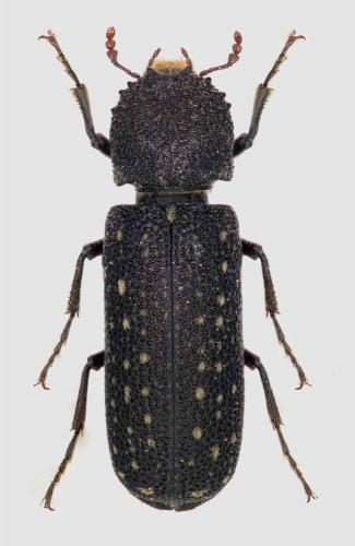Coleoptera Bostrichoidea