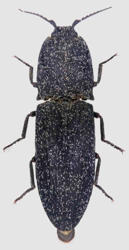 Lacon  punctatus