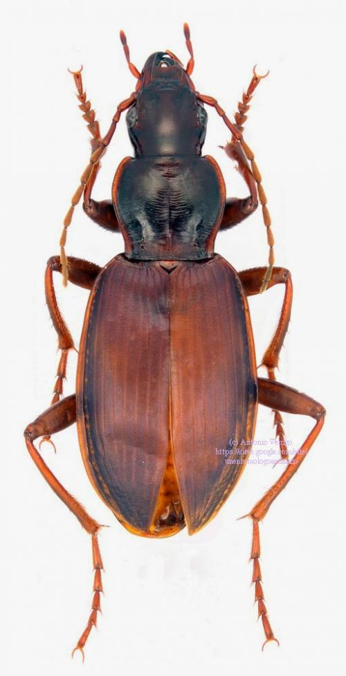 Coleoptera Caraboidea