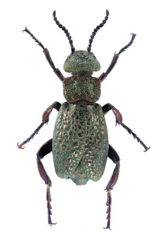 Coleoptera Meloidae