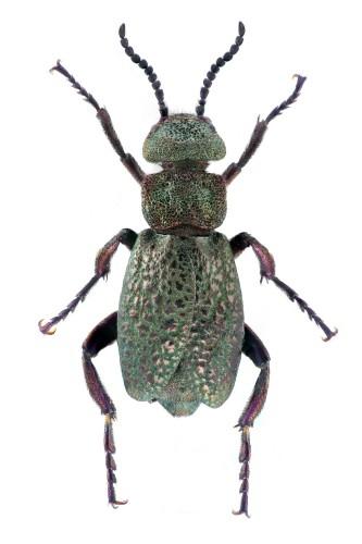 Meloe cavensis macho