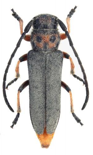 Musaria rubropunctata