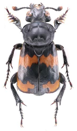 Coleoptera Silphidae