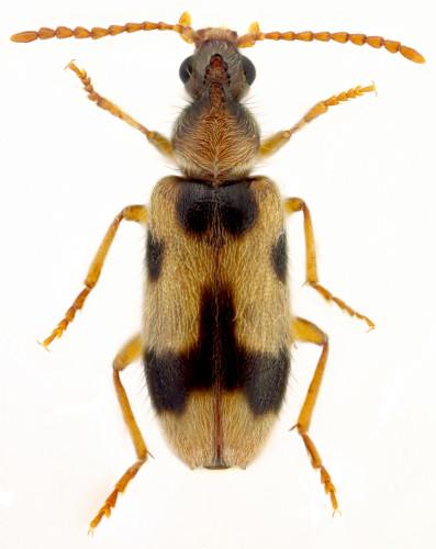 Coleoptera Anthicidae