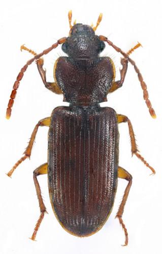 Oedesis villosulus