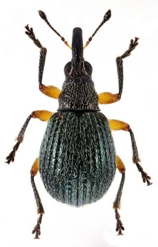 Oryxolaemus scabiosus