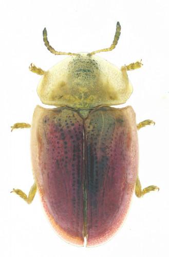 Cassida sp.