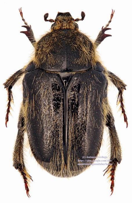 Coleoptera Scarabaeoidea