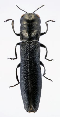 Paracylindromorphus spinipennis carmenae