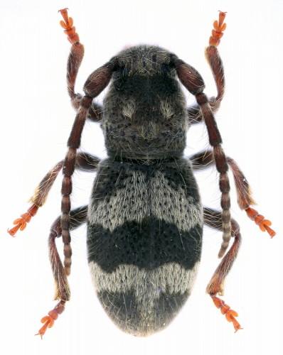 Parmena pubescens