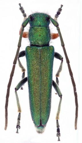 Phytoecia (P.) caerulea