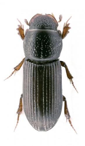 Pleurophorus caesus
