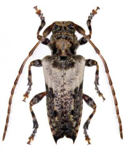 Pogonocherus pepa