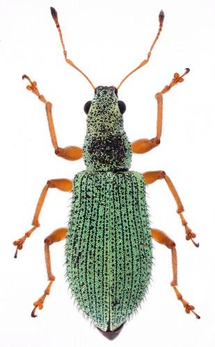 Polydrusus xanthopus