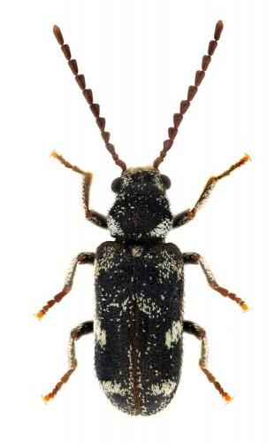 Ptinomorphus angustatus