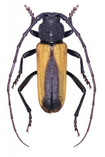 Purpuricenus ferrugineus