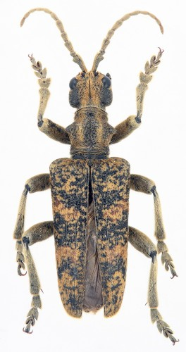 Rhagium sycophanta