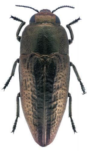 Sphenoptera antiqua