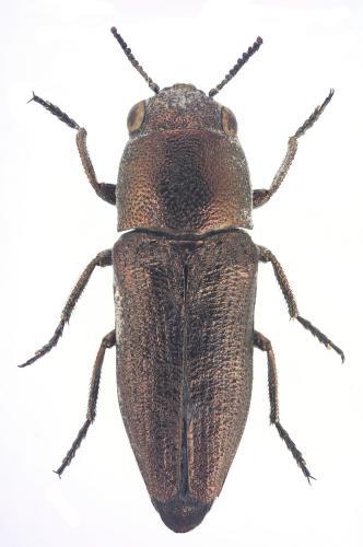 Sphenoptera parvula
