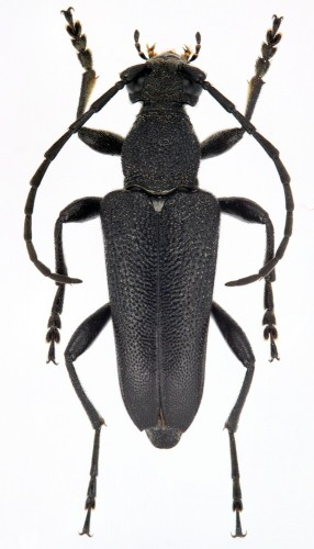 Stictoleptura scutellata melas