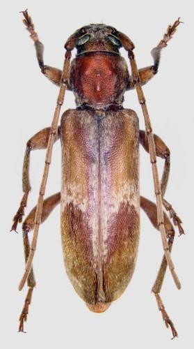 Trichoferus pallidus