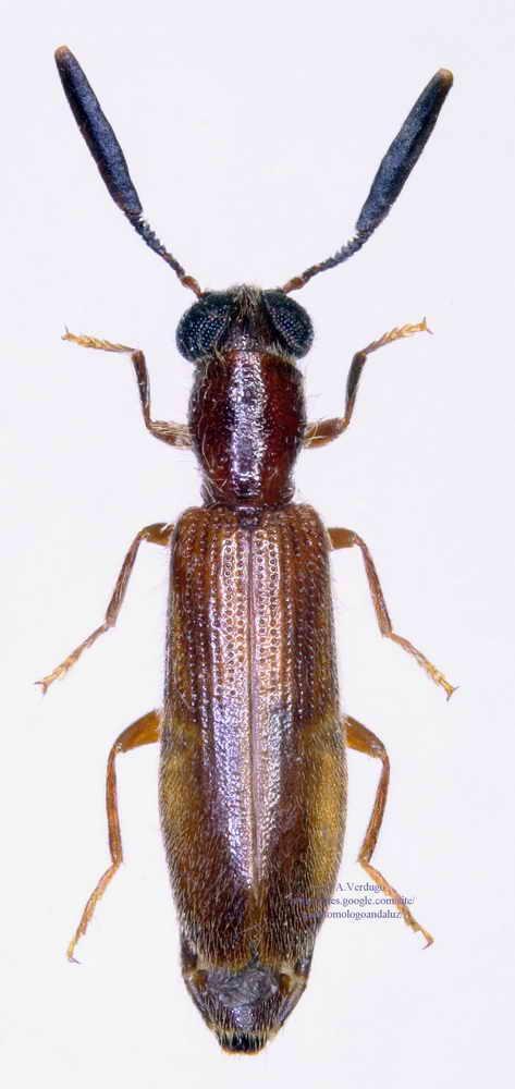 Teloclerus compressicornis