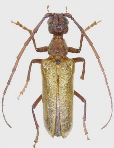 Vesperus aragonicus, macho