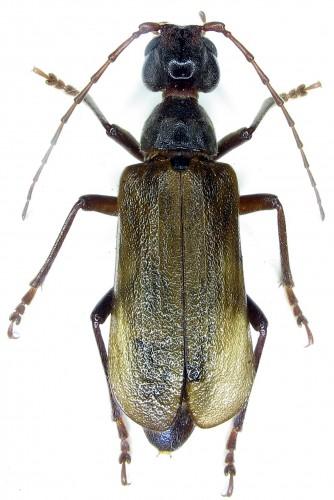 Vesperus aragonicus hembra